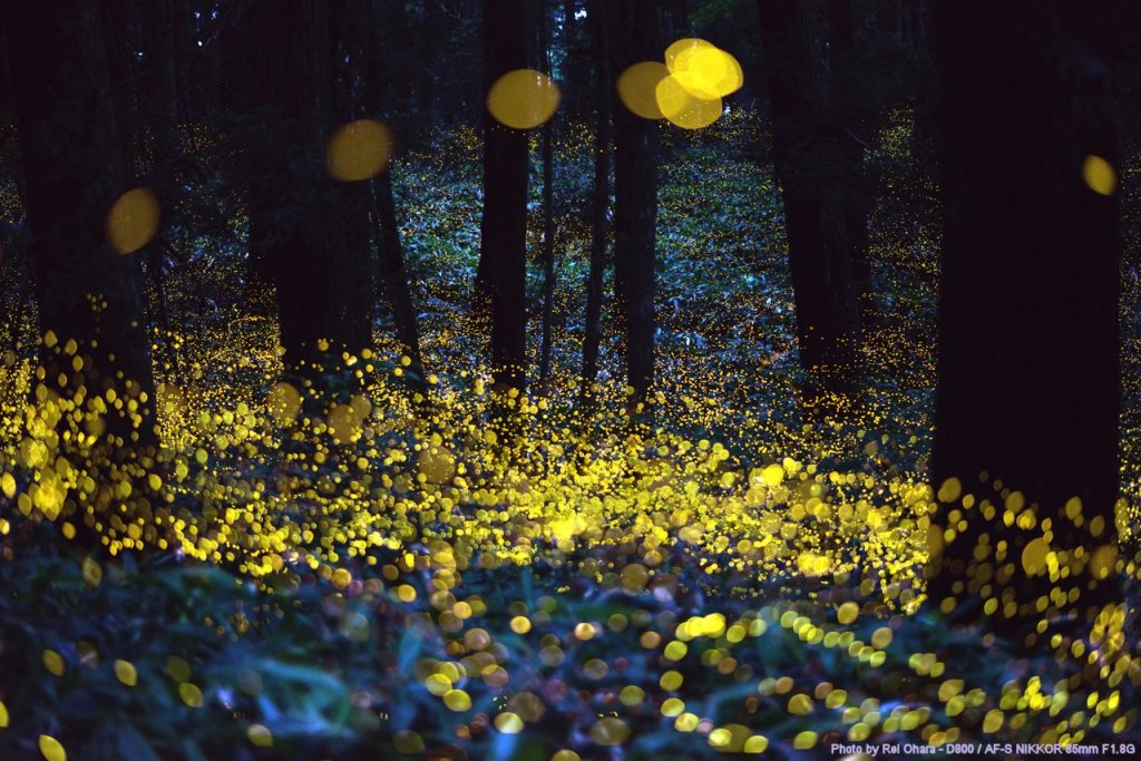 Long exposure of fireflies just before dark Photographer: Rei Ohara