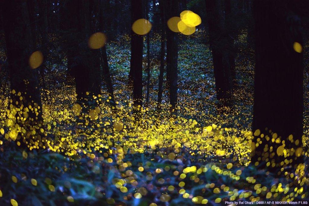 Long exposure of fireflies just before dark Photographer: Rei Ohara